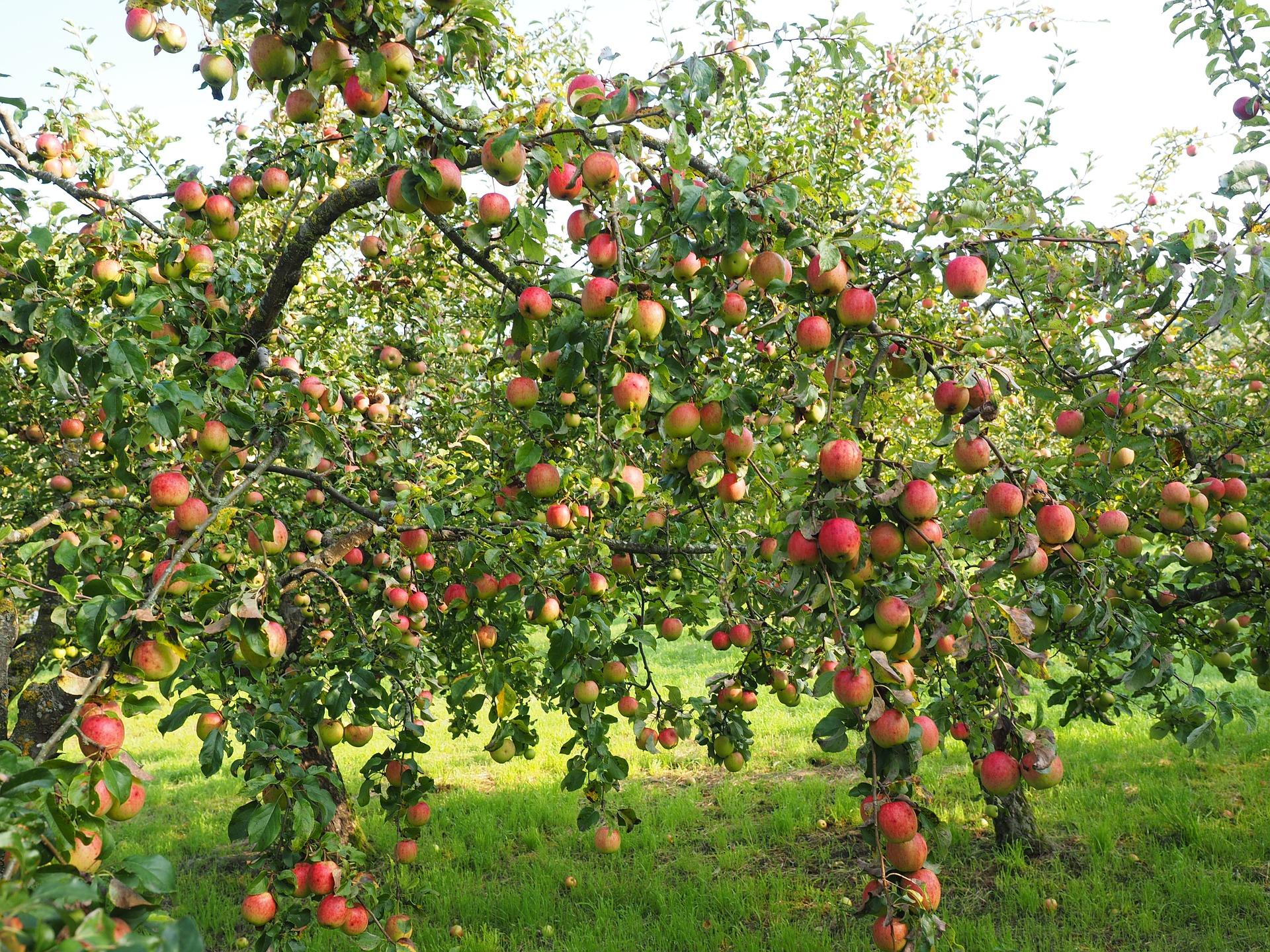 1322419878 Einen Apfelbaum Pflanzen Muessen Standort Abstand Pflanzzeit Beachten